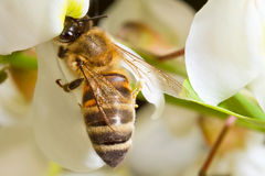 A bee on a flower of acacia. Bee working on the flower acacia royalty free stock photography