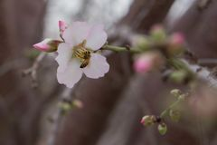 Bee in flower Almond blossom close up background early spring blooming Royalty Free Stock Photography