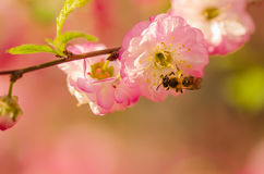 Bee on a flower of almond. Close-up. Royalty Free Stock Photo