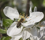 Bee on a flower apple tree stock image