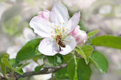 Bee on a flower apple trees Royalty Free Stock Photos