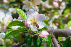 Bee on a flower apple trees. Honey bee collects nectar on the flowers apple trees Stock Image