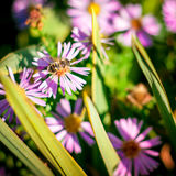 Bee on flower background. Honey bee on beautiful violet flower royalty free stock images