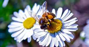 Bee on flower. Bee with bag flies on flowers Stock Photos