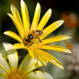 Bee on a flower. Bee on a beautiful flower royalty free stock photos