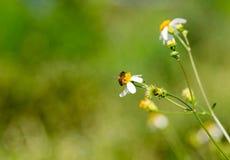 Bee in flower bee amazing,honeybee pollinated of yellow flower,Nature concept. Bee in flower bee amazing,honeybee pollinated of yellow flower on the season stock photo