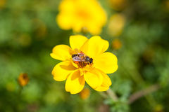 Bee on the flower, bee busy drinking nectar from the flower, sweet flower with bee Stock Images