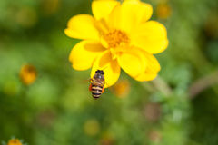 Bee on the flower, bee busy drinking nectar from the flower, sweet flower with bee Royalty Free Stock Photo