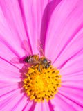 Bee on flower. Bee on colorful pink and yellow flower Stock Images