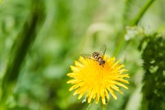Bee on a flower. A bee on a dandelion. The bee pollinates. Flowers in the wood stock photo