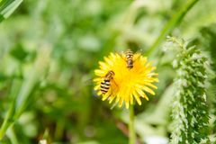 Bee on a flower. A bee on a dandelion. The bee pollinates. Flowers in the wood stock photos