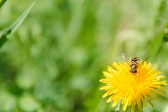 Bee on a flower. A bee on a dandelion. The bee pollinates. Flowers in the wood stock image