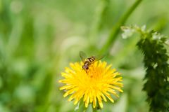 Bee on a flower. A bee on a dandelion. The bee pollinates. Flowers in the wood stock photography