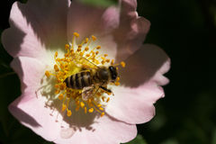 Bee on a flower. Bee on a flower of a pink flower Royalty Free Stock Images