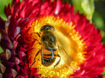 Bee on a flower. Bees and wasps in the summer actively collecting nectar on a variety of plants, including garden flowers Stock Photography