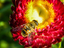 Bee on a flower. Bees and wasps in the summer actively collecting nectar on a variety of plants, including garden flowers Stock Images