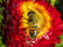Bee on a flower. Bees and wasps in the summer actively collecting nectar on a variety of plants, including garden flowers Royalty Free Stock Photo
