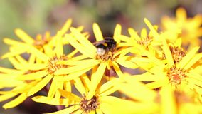 Bee on a flower stock video
