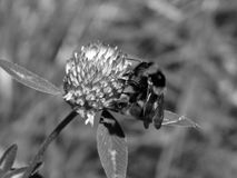 Bee on a flower on a black and white photo Royalty Free Stock Photos
