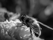 Bee on a flower on a black and white photo Royalty Free Stock Images