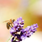 Bee on a flower bloom of purple lavender Royalty Free Stock Images
