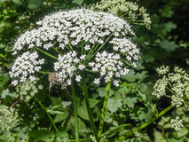 Bee on flower blooming white umbelliferous plant Royalty Free Stock Images