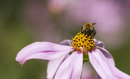 Bee on a flower blossom Royalty Free Stock Photography