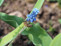 The bee on flower. The bee on blue flower Royalty Free Stock Photography