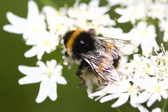 Bee on flower (Bombus Sorensis) Royalty Free Stock Photo
