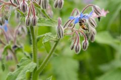 Bee on a flower of borago officinalis, also a starflower, is an annual herb in the flowering plant family Boraginaceae. Bee on a flower of borago officinalis stock images