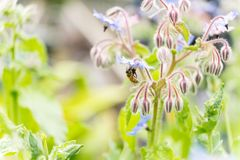 Bee on a flower of borago officinalis, also a starflower, is an annual herb in the flowering plant family Boraginaceae. Bee on a flower of borago officinalis royalty free stock photography
