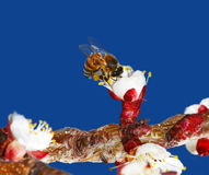 Bee on flower bud. This is a honey bee in a flower getting nectar on a plum tree Royalty Free Stock Photos