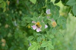 Bee on a flower bush eglantine. White eglantine between green foliage Rear view blurred Royalty Free Stock Photos