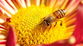 Bee in Flower. A bee is busy making honey in chrysanthemum by close-up photography Stock Photo