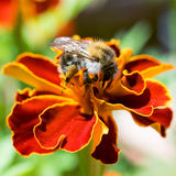 Bee on a flower. Busy worker on a yellow flower Stock Photography