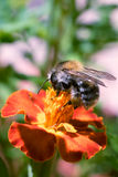 Bee on a flower. Busy worker on a yellow flower Stock Photos