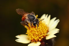 Bee & Flower Royalty Free Stock Photography