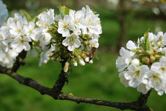 Bee on the flower of cherry. Spring in the garden, bee on the flower of cherry Royalty Free Stock Images