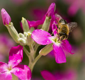 Bee and Flower. A bee on cherry blossoms flower Royalty Free Stock Photography
