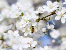 Bee on the flower of cherry Stock Photo