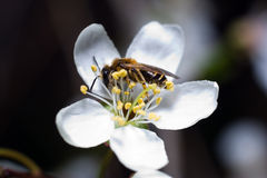 Bee on flower of cherry-tree Royalty Free Stock Image