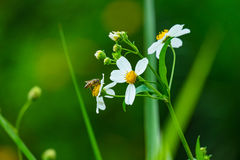 Bee & Flower. Close focus on a Bee working on white flowers in the forest Stock Photos