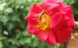 A bee on a flower. Close up bee on flower collects nectar Royalty Free Stock Photography