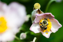 Bee On Flower royalty free stock photo