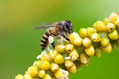 Bee and flower. Close up photo of Bee on flower Royalty Free Stock Image