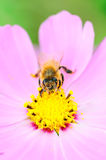 Bee and flower Stock Photos
