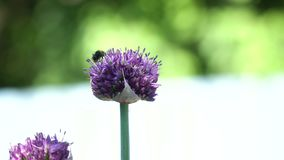 Bee on the flower,close up. stock footage