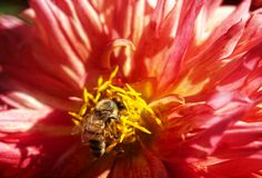 Bee on a flower. Close-up of bee on a red dahlia flower Royalty Free Stock Photos