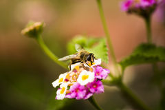 Bee on a flower. Stock Image