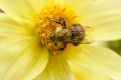 Bee on a flower close-up Stock Photo